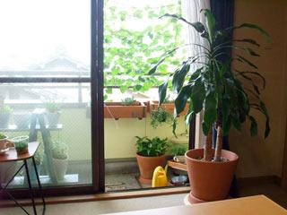 リビングからの今朝の景色。今年の西日対策は琉球朝顔です。