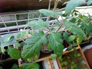 下の方の葉はハモグリバエ、上の葉はウドン粉…