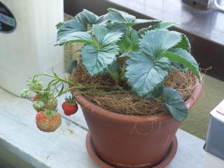 普通に培養土で育てております