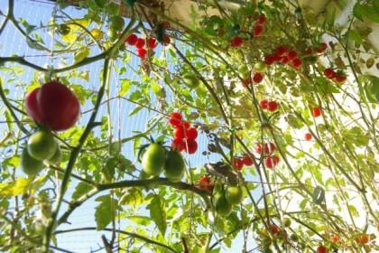 トマトの壁。2014/11