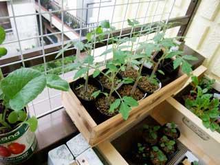 食べたミニトマトやら、シーズン過ぎて安売りしてた種やら。8月に播いていたんでした。