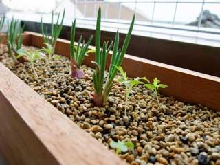 わけぎの間に水菜を種まき。