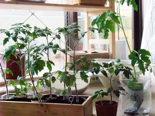ミニトマトもろもろ。日向土・培養土・水耕。