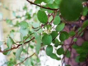 ワイヤープランツの花。小さくてカワイイ。