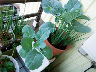 写真だと分かりにくいけど、鉢植えの半分ぐらいのサイズ