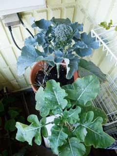 培養土と水耕栽培のブロッコリー