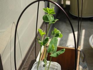 枝豆はもう25cm。