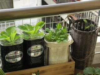 左から、白菜・白菜、1つ飛ばして辛味大根。