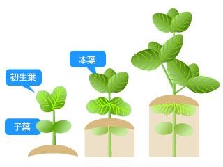 下手でゴメン。枝豆の土寄せの図。