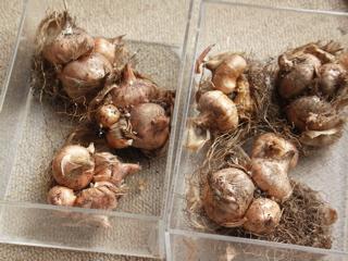 左:ハイポニカ 右:培養土