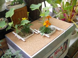 アホなステッカーが貼られたトロ箱で栽培中。