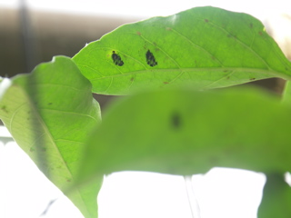 幼虫の脱皮後。