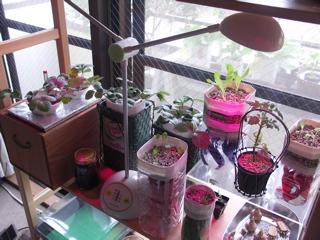 室内栽培棚。